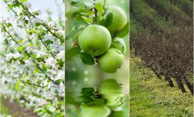 Что делать, если после зимы на яблонях остались прошлогодние листья и плоды