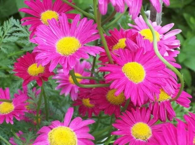 Цветы пиретрума формой похожи на обычную ромашку