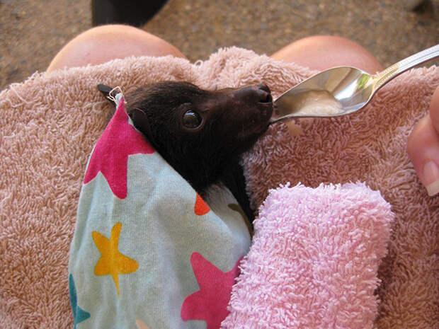 Спасенная маленькая летучая лисица обедает бананом, и это очень мило