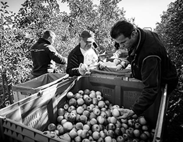 Российские яблоки требуют селекции
