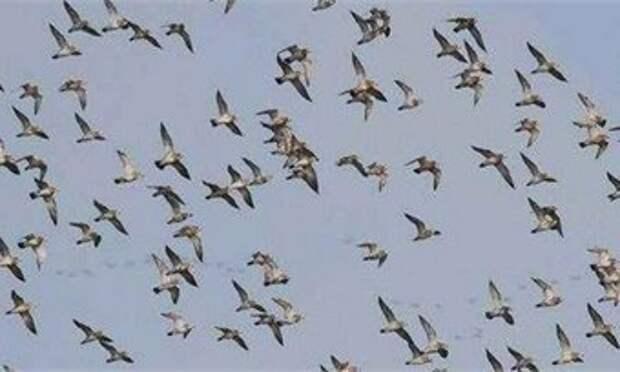 Ученые выяснили, почему птицы не устают перелетая океан