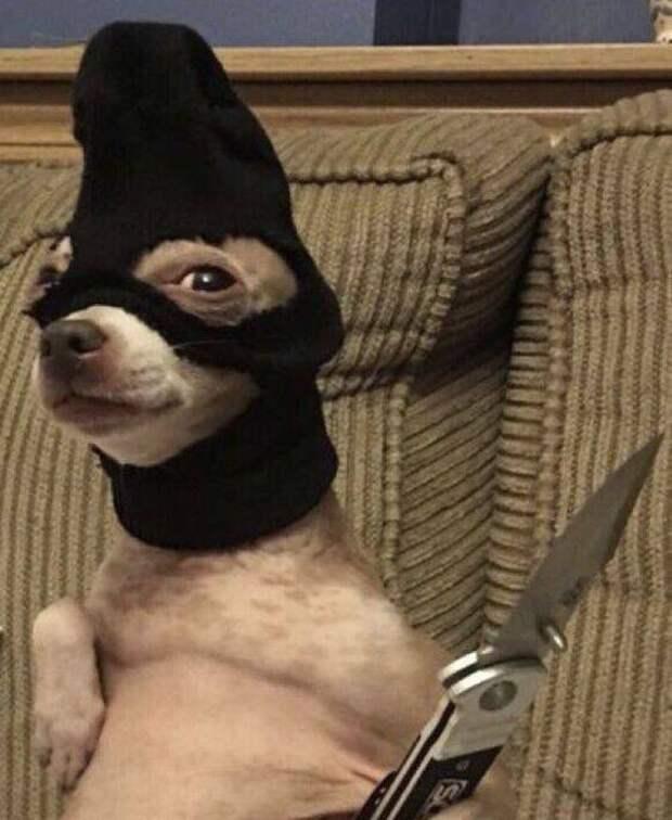 Собака-гангстер