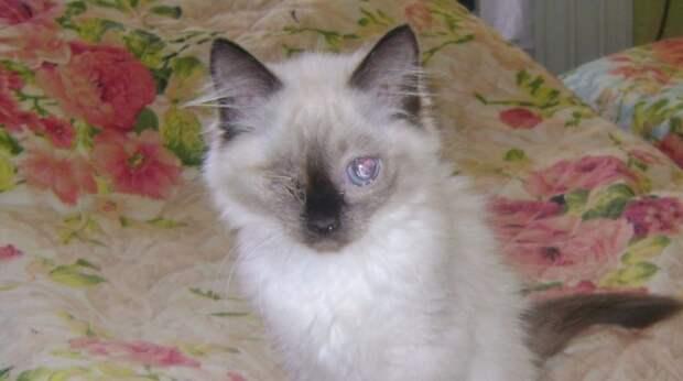 Породистого слепого котёнка хотели усыпить, но врачи наотрез отказались
