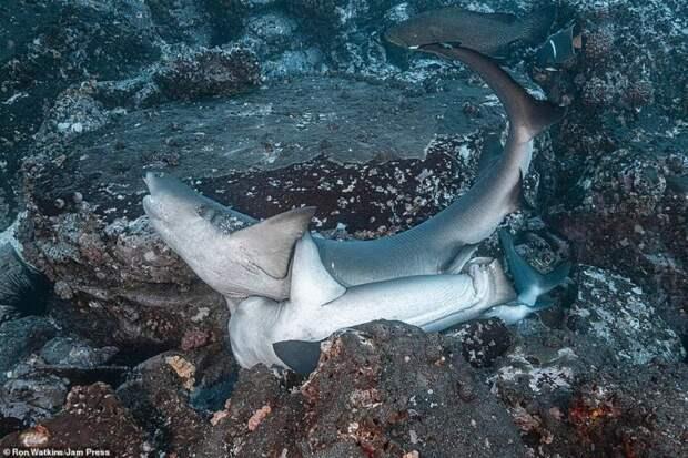 Рифовая акула: «Питается страхом». Хищник чувствует работу нервной системы жертвы даже через стены и с силой ломится в её дом