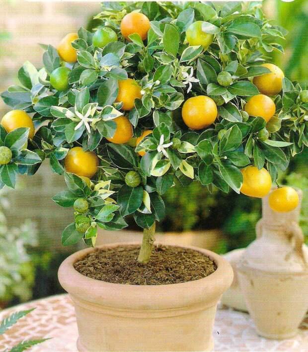 Комнатное растение Лимон (Citrus)