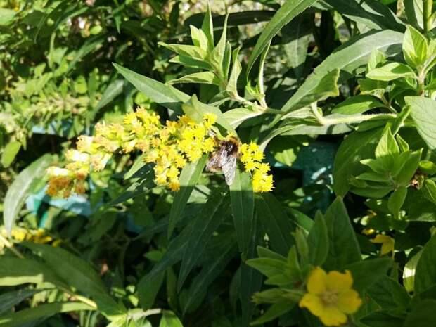 Фото дня: шмель опыляет цветок в Марфине