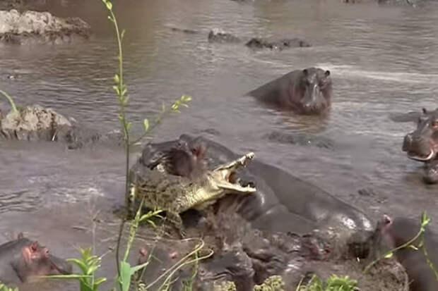 Крокодил нарвался на стадо бегемотов и поплатился. Видео