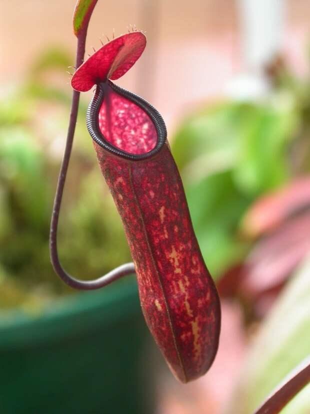 6. Хищные кувшиночники ботаника, вокруг света, интересное, растения