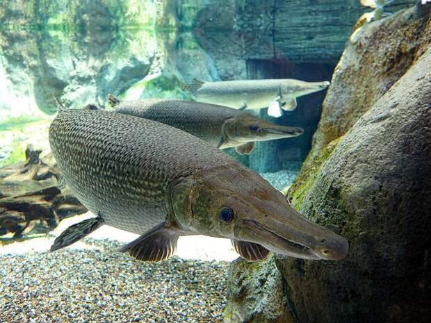 Рыба-аллигатор, одна из самых пугающих и больших пресноводных рыб