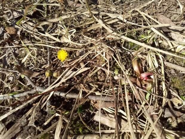 В долине Соболевского ручья расцвела мать-и-мачеха
