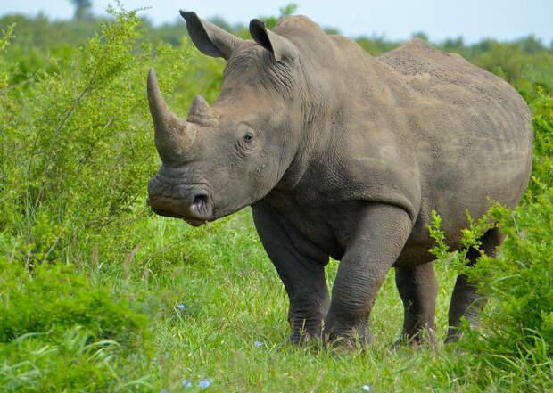 Белый носорог. Фото Bernard DUPONT (flickr.com)