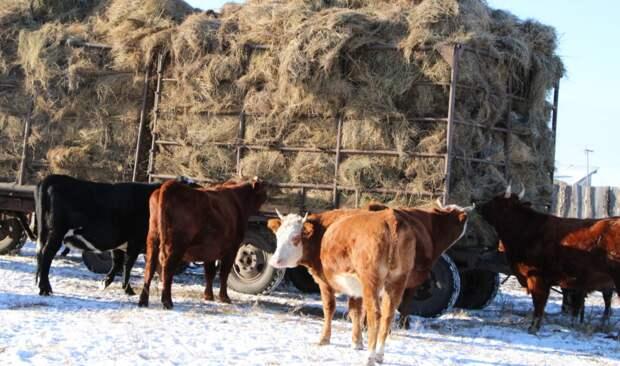 Новосибирские ученые собираются вывести устойчивых к морозам коров
