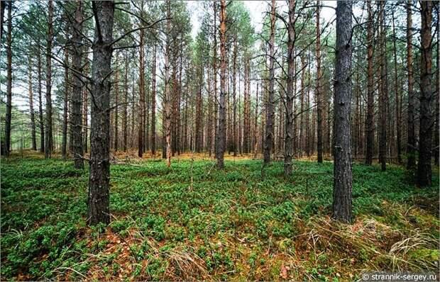Брусничник среди сосновых деревьев в лесу поздней осенью в ноябре