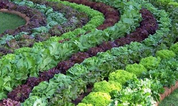 Овощная клумба. Фото с сайта nasotke.ru