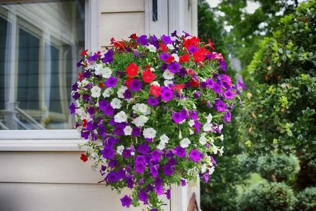 Петуния, раскрасит лето яркими красками!