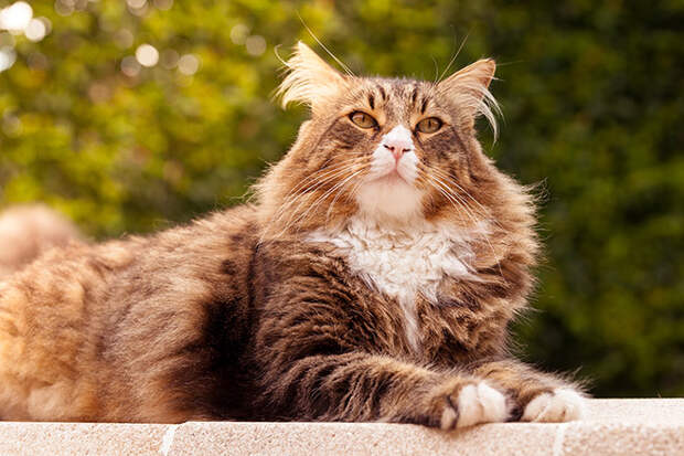 10 самых правильных пород кошек