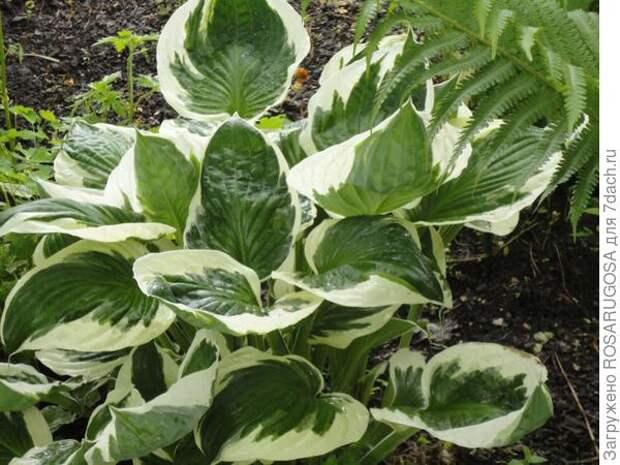 Patriot легко узнать по ослепительно-белой кайме листьев. Фото автора