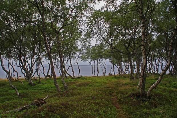 В чём загадка карельской берёзы – таинственной жемчужины северных лесов