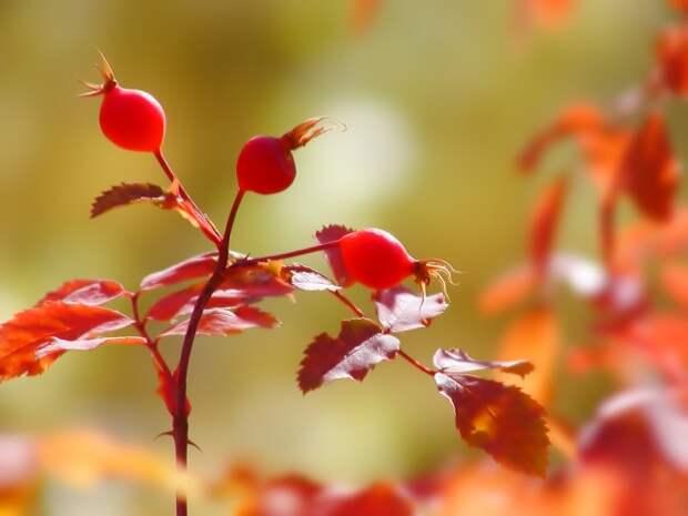 День шиповника - северной розы