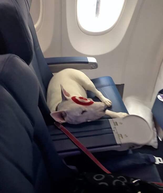 На своем месте животные, забавно, летайте самолетами, мило, пассажиры, самолет, собаки, хвостатые пассажиры