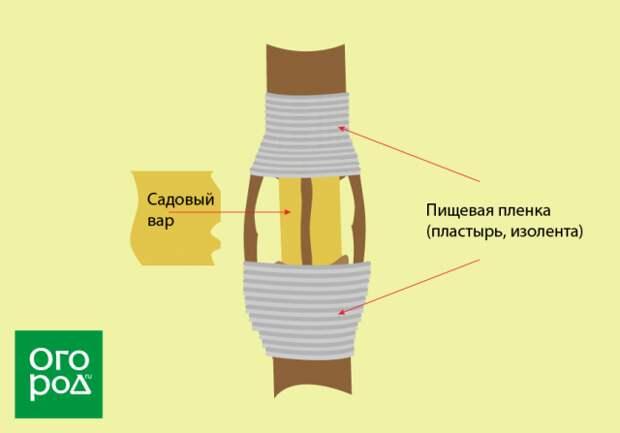 прививка мостиком