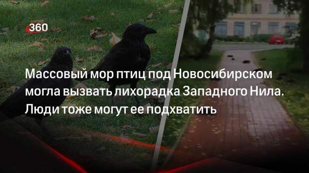 Массовый мор птиц под Новосибирском могла вызвать лихорадка Западного Нила. Люди тоже могут ее подхватить