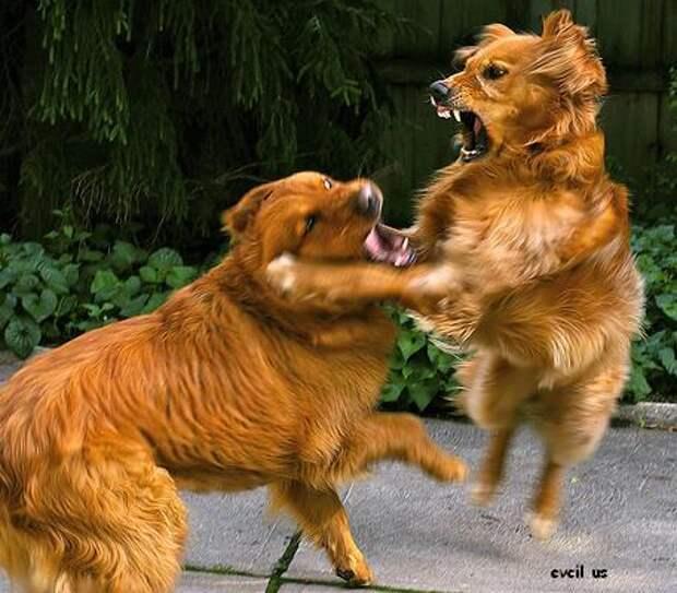 Собаки в драке: как безопасно разнять животных, если они дерутся?