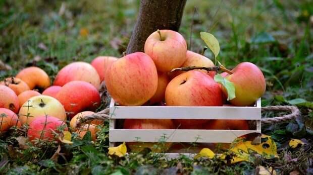 Контрсанкции Москвы больно ударили по яблочной отрасли Польши