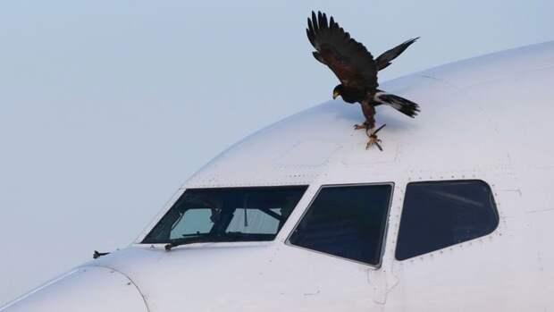 Птичку жалко! Похитили ястреба, охранявшего лондонский аэропорт Хитроу