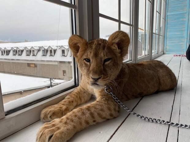 Дзен. В Санкт-Петербурге в домашних условиях незаконно содержали львенка
