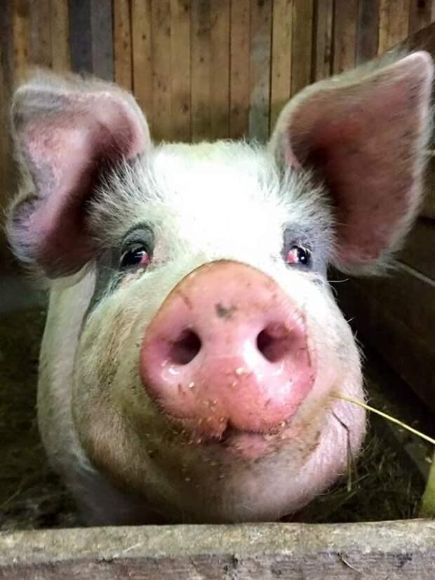 Сегодня Линдси обращается ко всем добровольцам, с просьбой помочь ей найти деньги на содержание Винни и добрые люди со всего мира откликаются на ее призыв, а Винни просто счастлив доброта, дружба, свинья, ферма