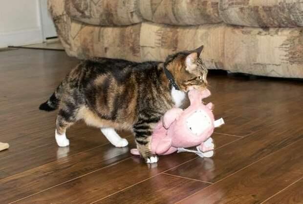 Хозяева уже привыкли к тому, что их кот, входя в комнату, гордо тащит за собой плюшевую свинью