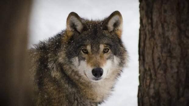 Японский волк может оказаться ближайшим диким родственником современных собак