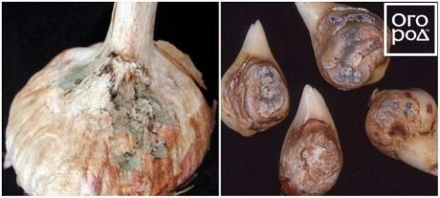 Пенициллез чеснока