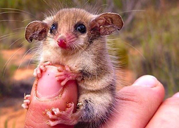 Австралийские животные, которые убивают своей милотой