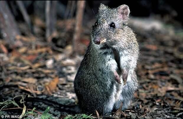 Потору Гилберта Галапагосы, австралия, животные, интересно, мадагаскар, познавательно, редкие животные, эндемики