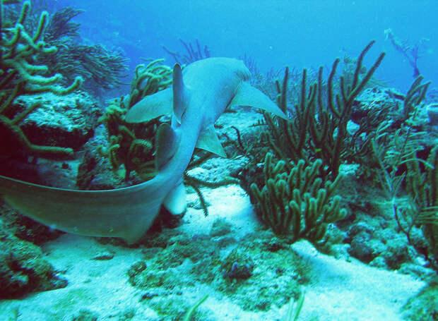 Усатая акула-нянька