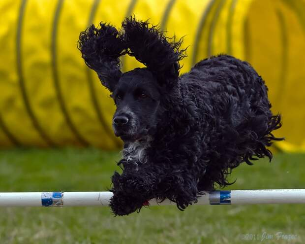 топ самых умных пород собак: английский кокер-спаниель. Фото