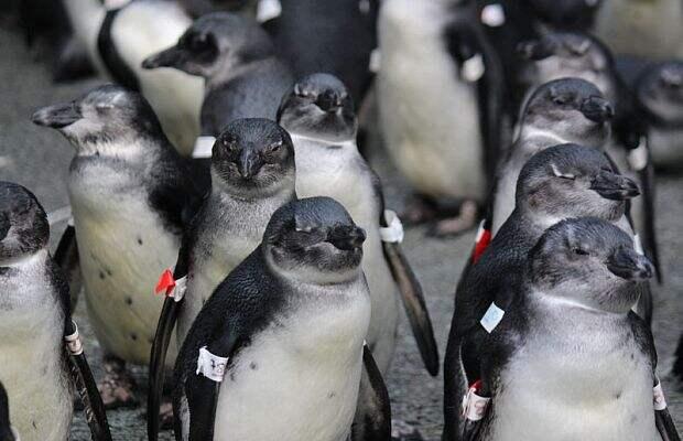 Эволюционная ловушка: массовая гибель пингвинов из-за деятельности человека