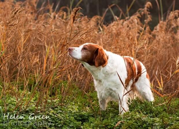 Рейтинг самых умных собак: 19 место - бретонский эпаньол. Фото