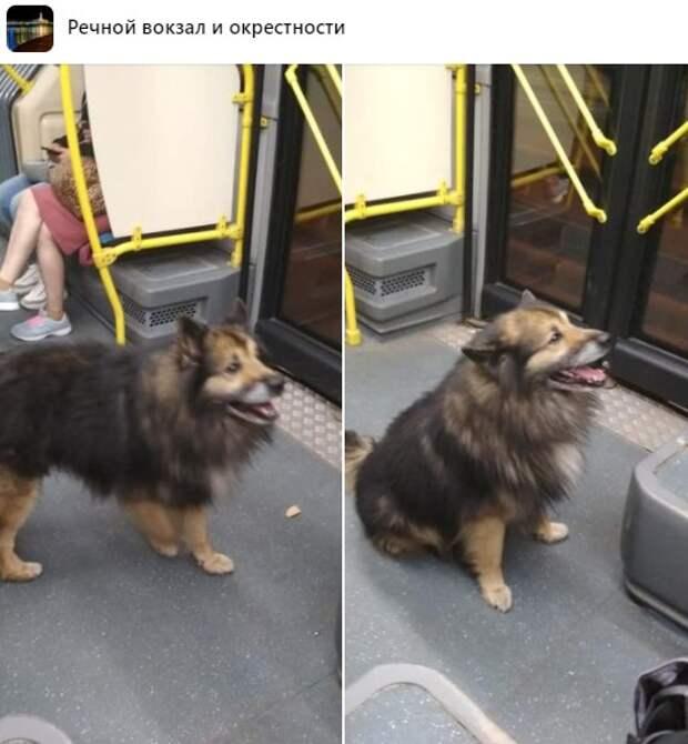 Пес из Химок сбежал на автобусе к «Неве»