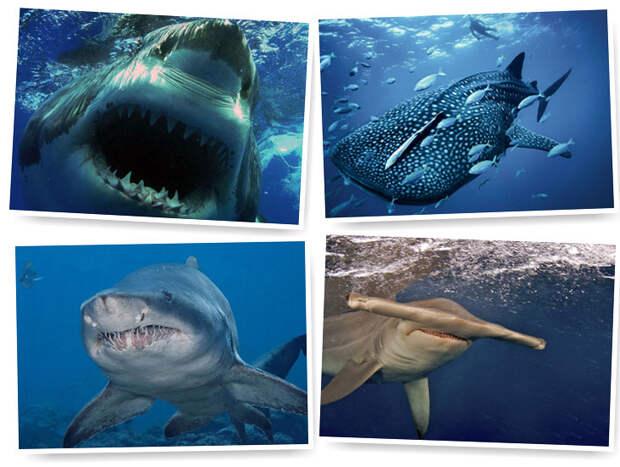 Акулы — грозные хищники морей и океанов
