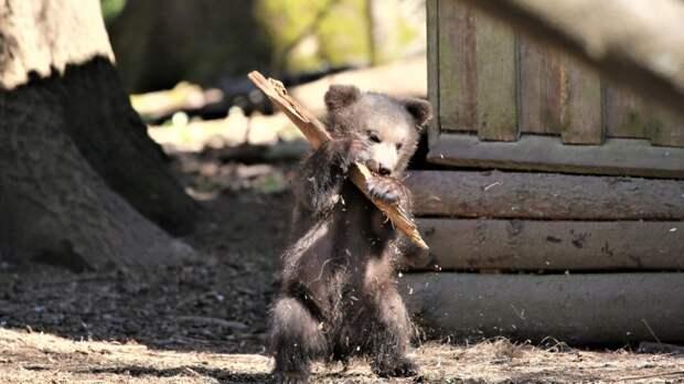 Мать трех маленьких медвежат впервые вывела их на прогулку в нижегородском зоопарке