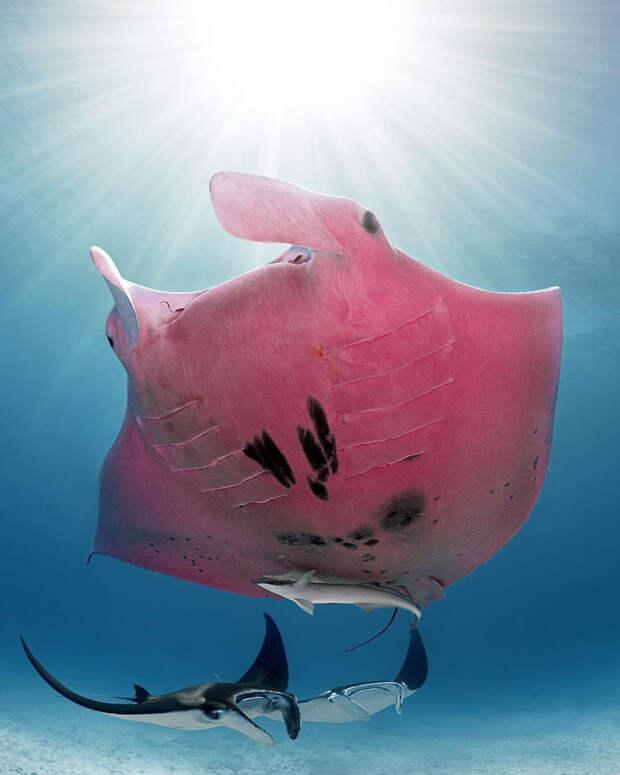 5 волшебных фото единственного розового ската в мире