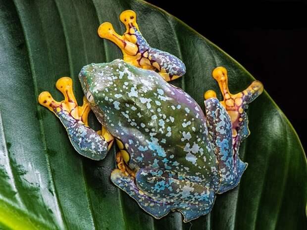 Бахромчатая древесная лягушка (лат. Cruziohyla craspedopus)