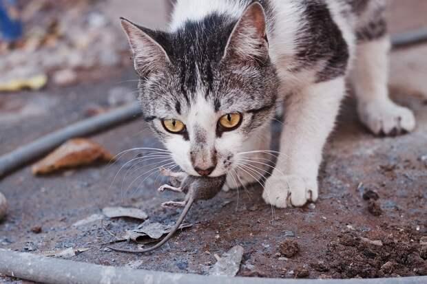 Зараженные токсоплазмой мыши не боятся ничего