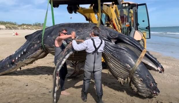 На юге Франции нашли не водящегося в Средиземном море горбатого кита