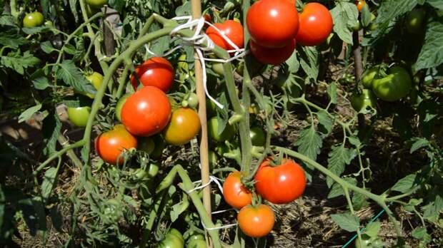 Горячая вода — экологический способ спасти от фитофторы и сохранить урожай собранных помидоров