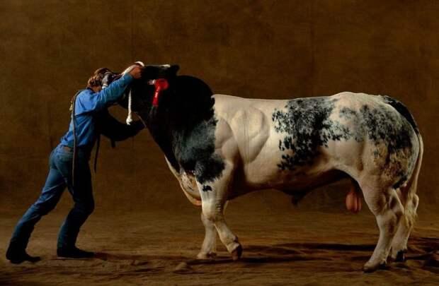 5 грозных фото бычков-качков, с которыми лучше не ссориться
