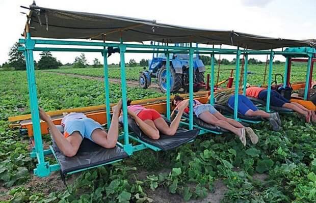 Комбайн для сбора клубники дача, клубника, на заметку, огород, сбор урожая, фото